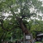Árbol de 1300 años